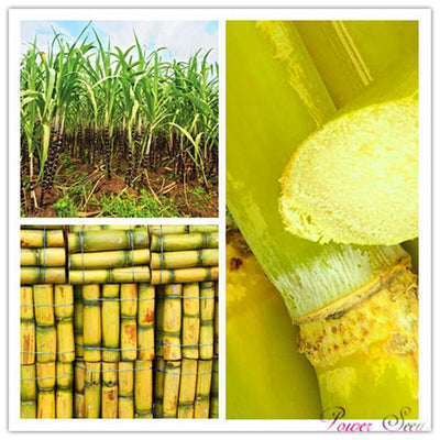100pcs Vegetable and fruits seeds Sugar cane seeds Are rich in sugar sugarcane seed Bonsai plants Seeds for home & garden 100  UpCube- upcube