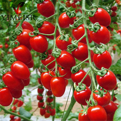 100pcs/bag cherry tomato seed. Rare Balcony Organic fruits vegetables seeds Bonsai Potted plant (red,yellow)Tomato seeds  UpCube- upcube