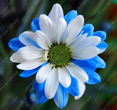 100pcs/bag African Blue Eyed Daisy Seeds rare Osteospermum seeds bonsai Potted flower seeds garden plant easy to grow  UpCube- upcube