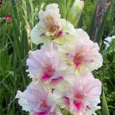 100% True Purple Gladiolus Bulbs Seeds, 50 Pcs Perennial Flower Seeds Rare Sword Lily Aerobic Potted Plant Bonsai Garden Balcony