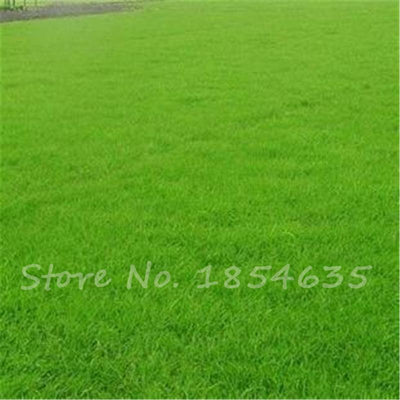 1000pcs Lawn Turf Seed Grass Seeds Fresh Green Soft Runner Turfgrass for home park soccer golf place free shipping  UpCube- upcube