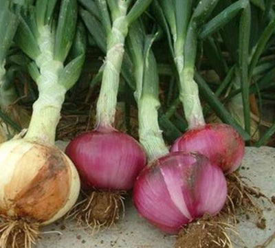 100pcs/bag Giant Onion Sweet Spanish seeds vegetable high germination Vegetables  UpCube- upcube