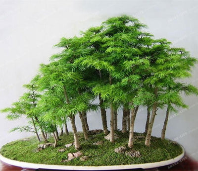 100% True Japanese Mini Maple Bonsai Tree Cheap Seeds 20 Seeds / Pack, Very Beautiful Indoor Tree Bonsai Garden Plants