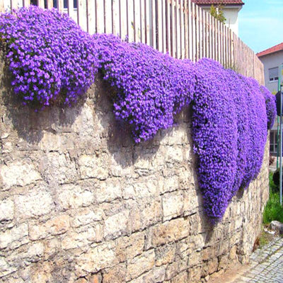100pcs Aubrieta Seeds rare Rock Cress Flower seeds Diy plant bonsai Seed Perennial Plants For Home Garden sementes and rose gift  UpCube- upcube