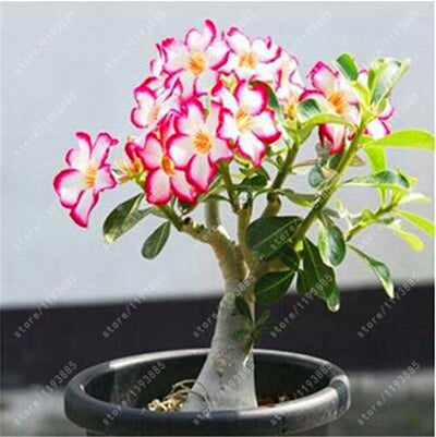 100% True Adenium Obesum Seeds Desert Rose Seeds Garden Home Bonsai Balcony Flower seeds 2 pcs/bag