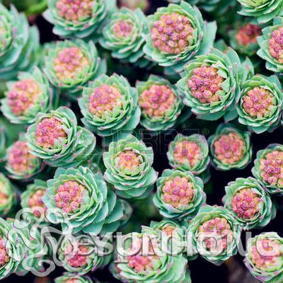 100PCS Sedum Seeds German imports of potted flowers sedum succulents radiation wonderful fleshy seed Purple Goddess of Mercy  UpCube- upcube