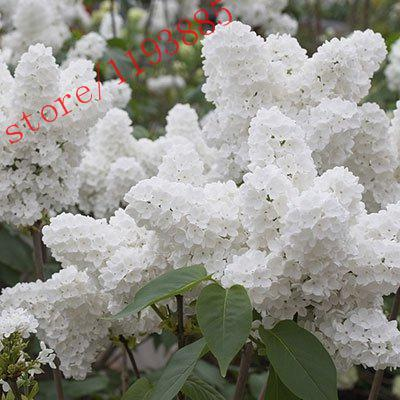 100pcs White Japanese Lilac Seeds (Extremely Fragrant) clove flower seeds for home & garden  UpCube- upcube