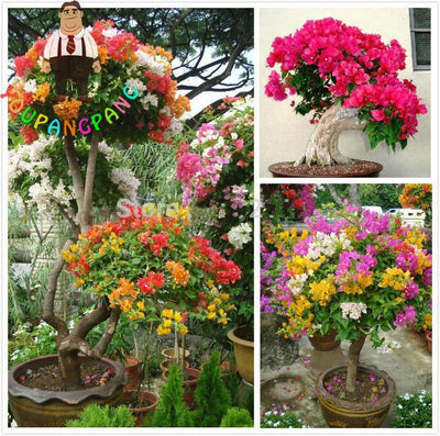 100pcs Colorful Bougainvillea Seeds Balcony Flower Pot * Garden Flowers Seeds In Bonsai Floriferous Hardy Plant Tree Sementes .  UpCube- upcube
