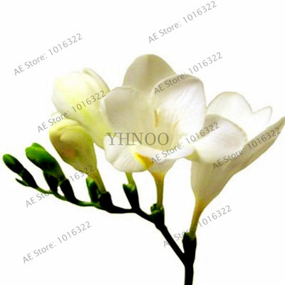 100pcs/bag Freesia seeds,True freesia bulbs flower freesia bonsai flower bulbs Flowers Orchid Freesia Rhizome bulbous flowers  UpCube- upcube