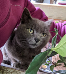 Farm kitty Lady Gray supervises shipping at Camellia Forest Nursery