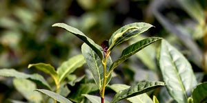 Tea leaves, new growth on Camellia sinensis at Camellia Forest Nursery
