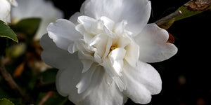 Fall blooming Camellia x 'Snow Flurry' at Camellia Forest Nursery, Camellia hybrid