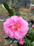 Camellia sasanqua 'Angel's Kiss' at Camellia Forest Nursery.  Fall blooming, pink.
