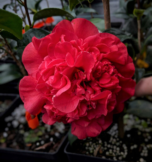 Camellia japonica 'Annie Tee'