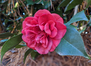 Camellia japonica 'Aunt Jetty'