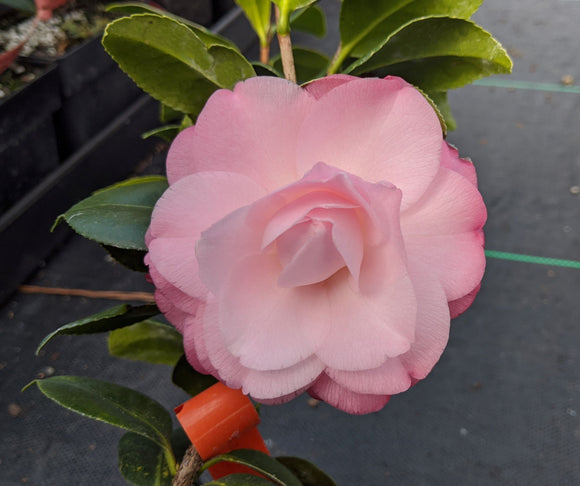 Camellia japonica 'Baby Pearl'