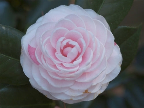 Camellia japonica 'Florence Stratton'