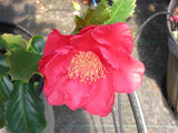 Camellia japonica 'Holly Bright' at Camellia Forest Nursery