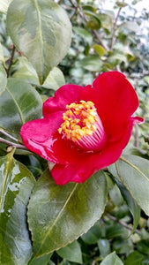 Camellia japonica 'Korean Flame' at Camellia Forest Nursery