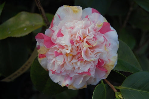 Camellia japonica 'Sporting Class'