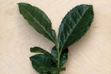 "Camellia sinensis ""Large Leaf"" tea plant at Camellia Forest Nursery"