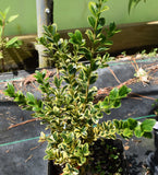 Buxus microphylla var japonica 'Borderline' at Camellia Forest Nursery