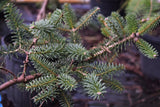 Abies pinsapo 'Glauca', Blue Spanish Fir at Camellia Forest Nursery