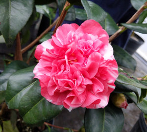 Camellia japonica 'All American Var.'