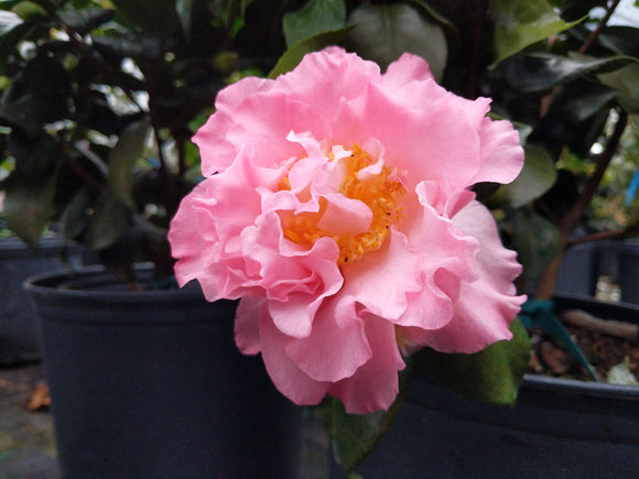 Camellia japonica 'Annette Gehry'