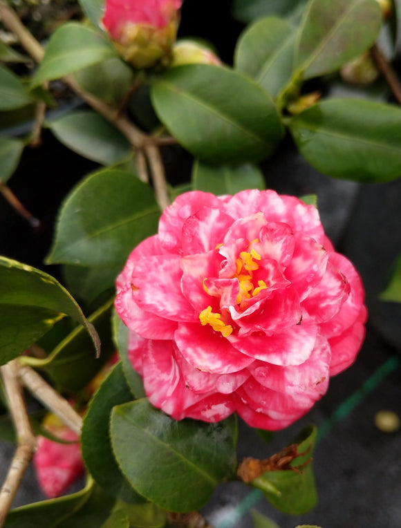 Camellia japonica 'Fir Cone Variegated'