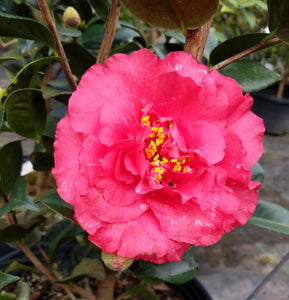 Camellia japonica 'Agnes Rowell'