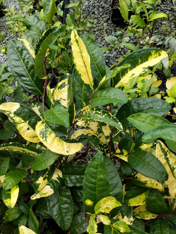Camellia sinensis 'Yellow Tea' at Camellia Forest Nursery