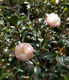 Camellia sasanqua 'Paradise Little Liane' at Camellia Forest Nursery