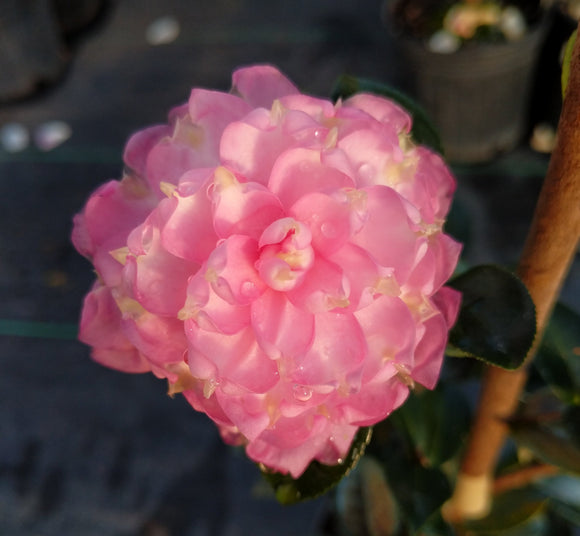 Camellia sasanqua 'Strawberry Limeade'