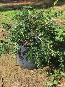 Buxus sempervirens 'Unraveled'
