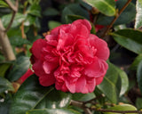 Fall blooming, red, anemone form Camellia japonica 'Little Slam' at Camellia Forest Nursery