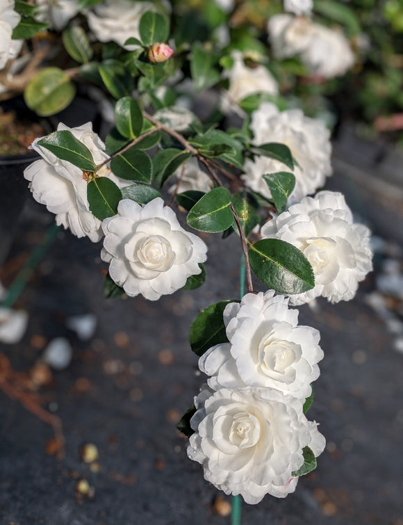 Camellia sasanqua October Magic® White Shi-Shi