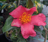 Camellia japonica 'Taiyo'