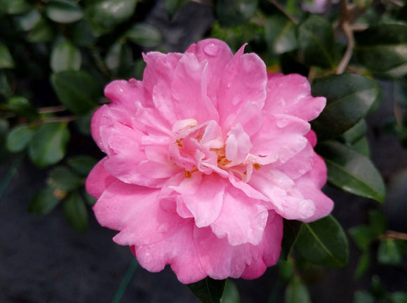 Camellia x 'Autumn Spirit' at Camellia Forest Nursery