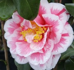 Camellia japonica 'Herme' at Camellia Forest Nursery