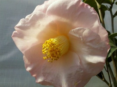 Camellia japonica 'April Blush' at Camellia Forest Nursery