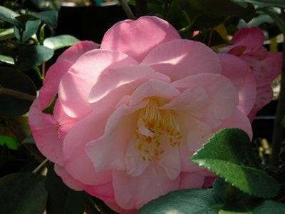Camellia japonica 'April Remembered' at Camellia Forest Nursery