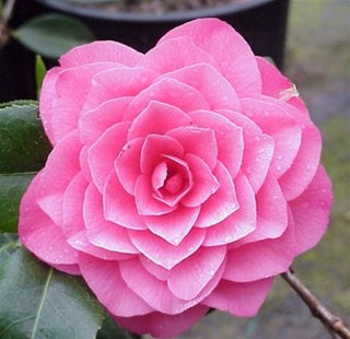 Camellia japonica 'April Rose' at Camellia Forest Nursery