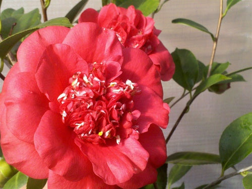 Camellia japonica 'April Tryst'