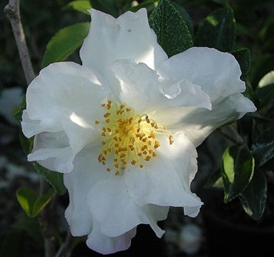Camellia sasanqua 'Autumn Rocket' at Camellia Forest Nursery