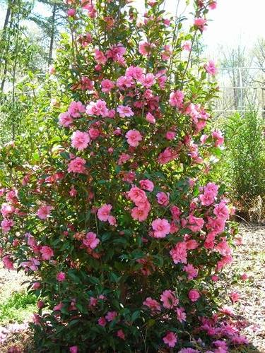 Camellia x williamsii 'Ballet in Pink'