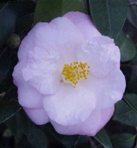 Camellia japonica 'Berenice Boddy' at Camellia Forest Nursery