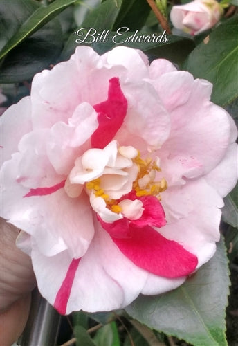 Camellia japonica 'Bill Edwards' at Camellia Forest Nursery