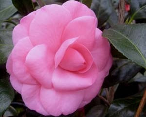 Camellia japonica 'Betty Sette' at Camellia Forest Nursery