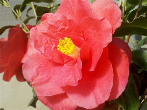 Camellia japonica 'Christmas Beauty' at Camellia Forest Nursery